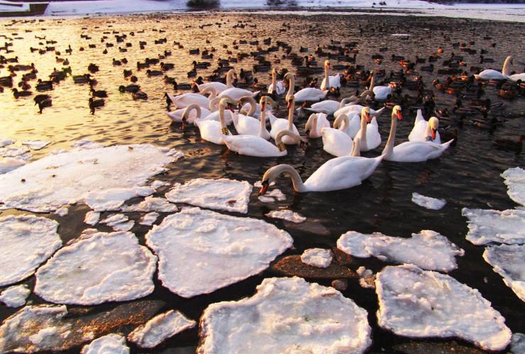 Swans 4, 11-02-2012